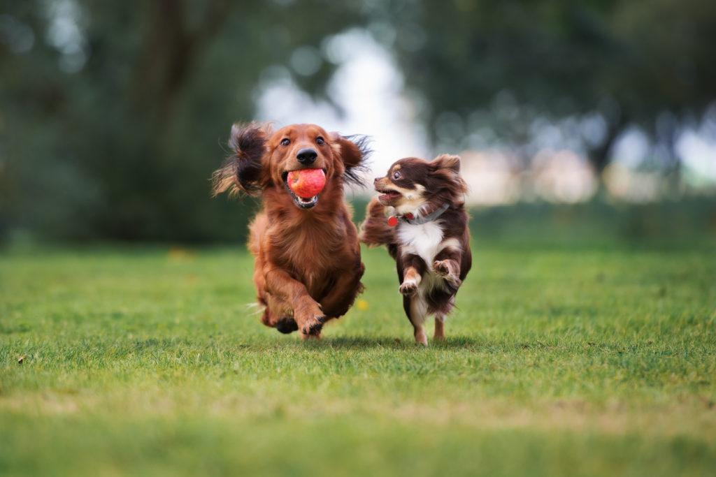 Zwei Hunde spielen mit dem Ball.
