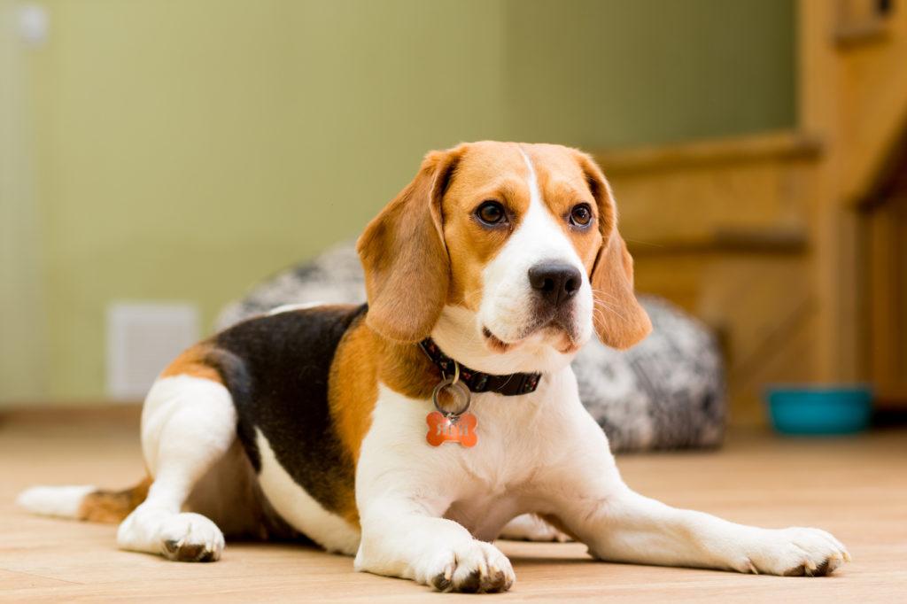 race de chien Beagle