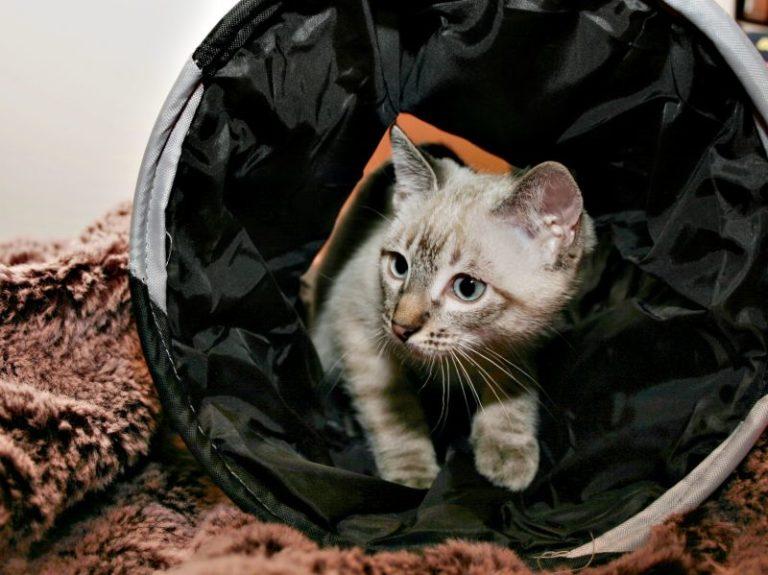 agility pour chat