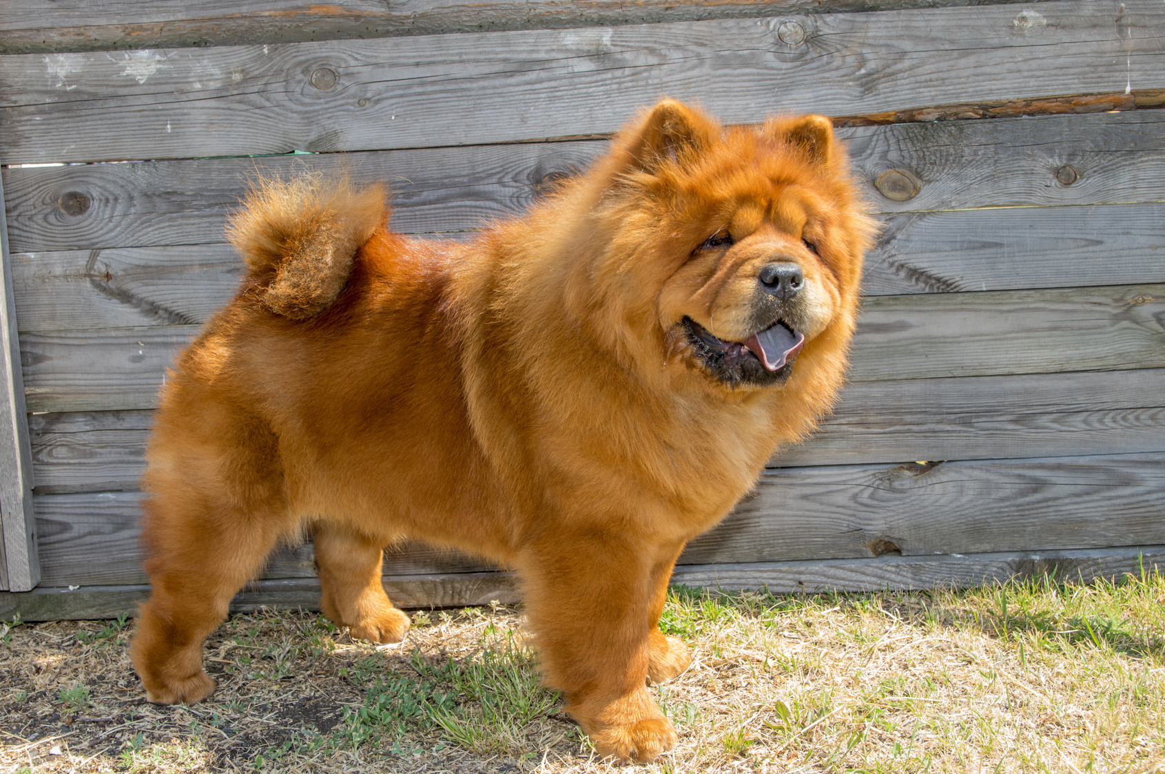 Chow Chow Caractère éducation Adoption Magazine Zooplus