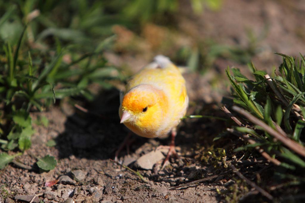 canari oiseau