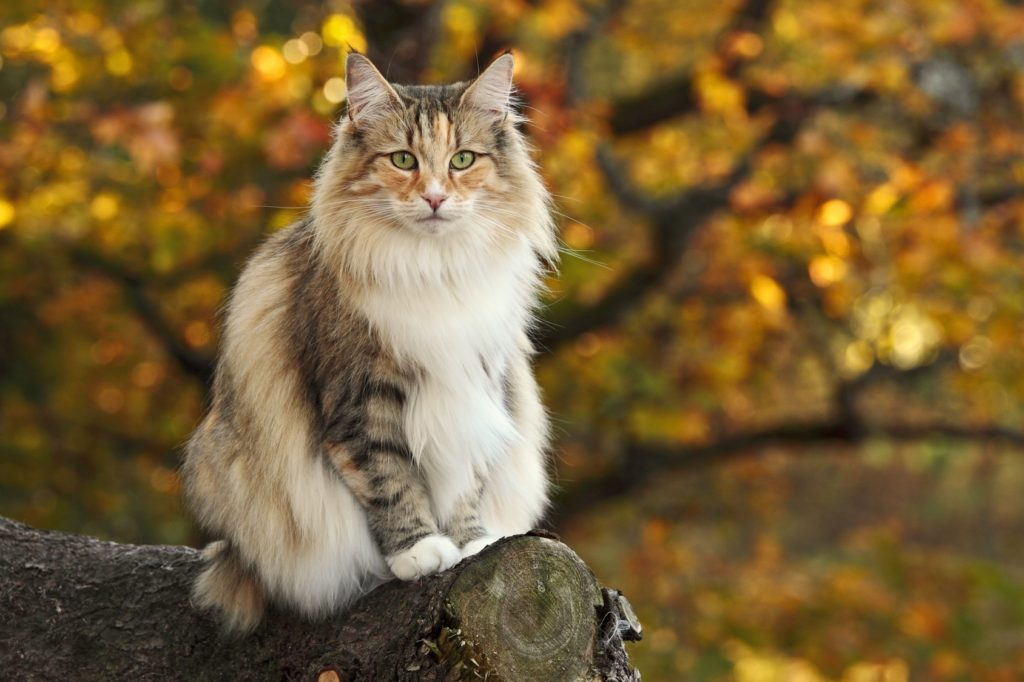 chat norvégien, chat des forets norvégiennes