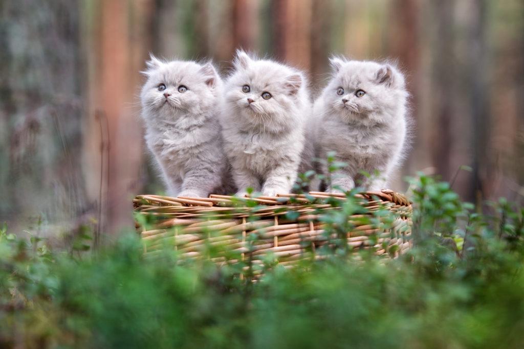 chatons British Longhair