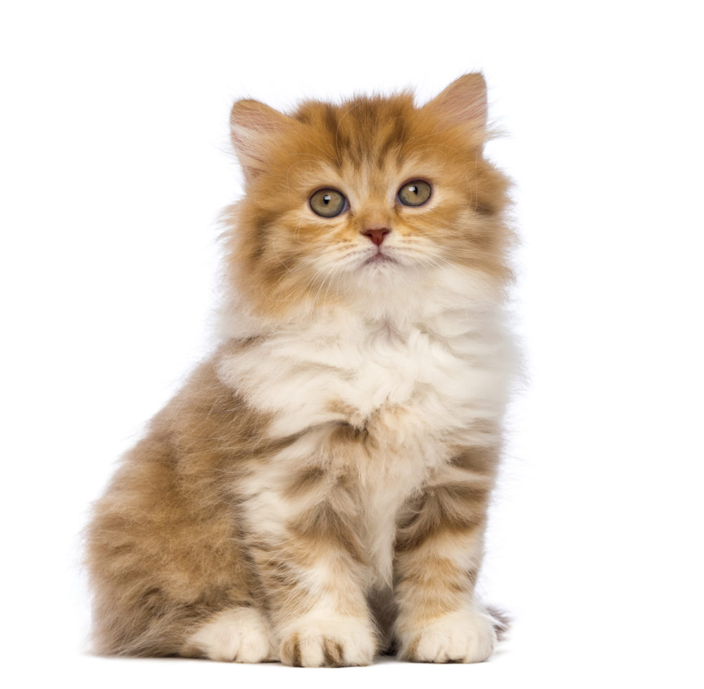 British Longhair chaton
