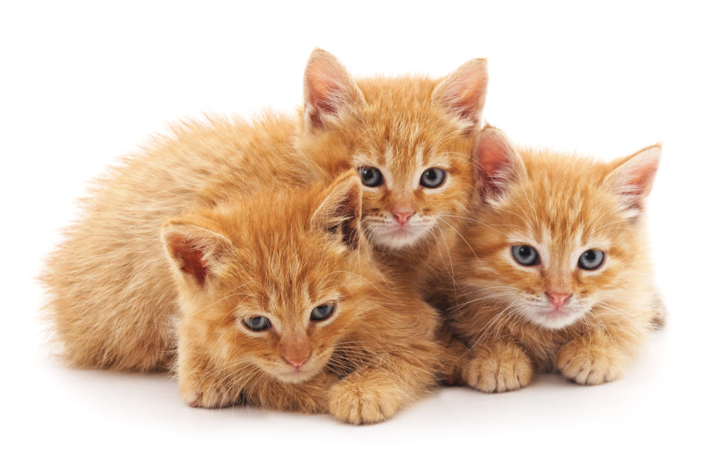 accueillir un deuxième chat