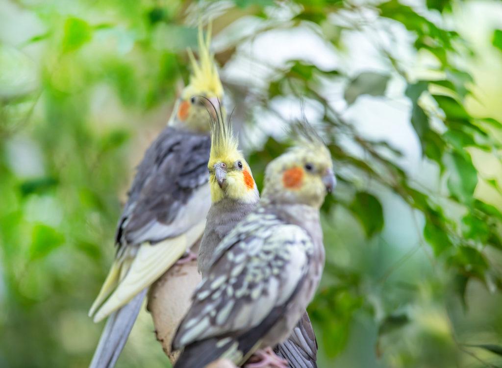 Pourquoi les oiseaux vivent-ils en couple ?