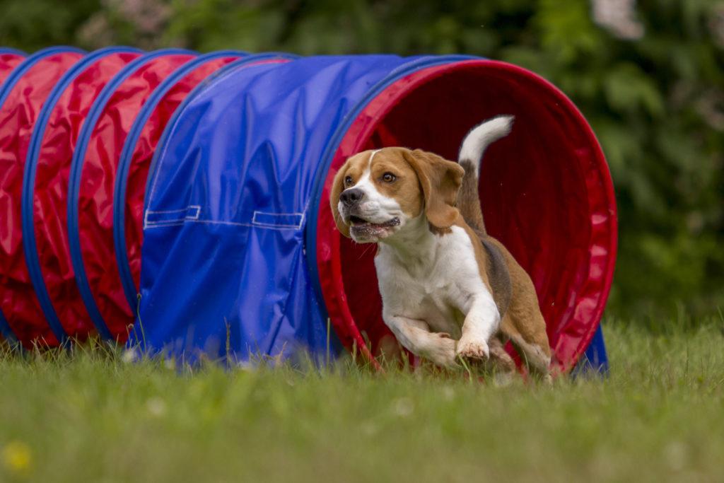tunnel agility pour chien
