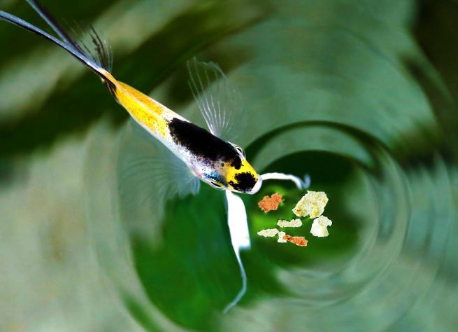bien nourrir ses poissons d'aquarium