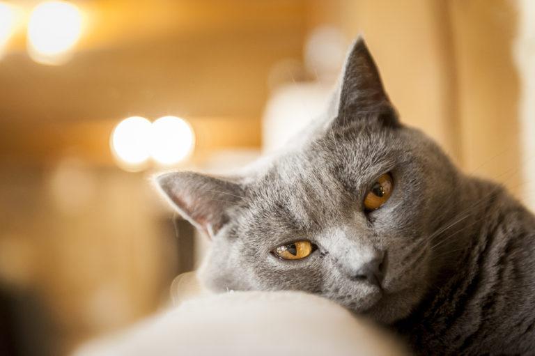 Chartreux gris aux yeux de couleur or