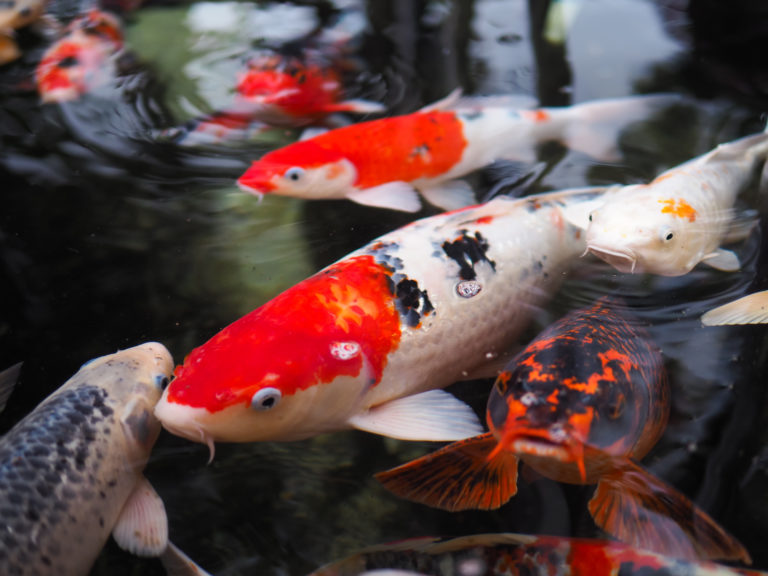nourrir ses poissons de bassin