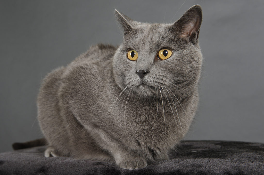 Chartreux Chat Caractere Sante Elevage Adoption Zooplus