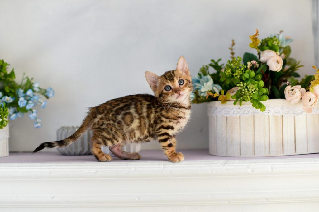 chaton bengal