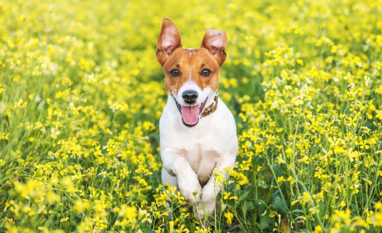 Protéger son chien contre les puces et les tiques