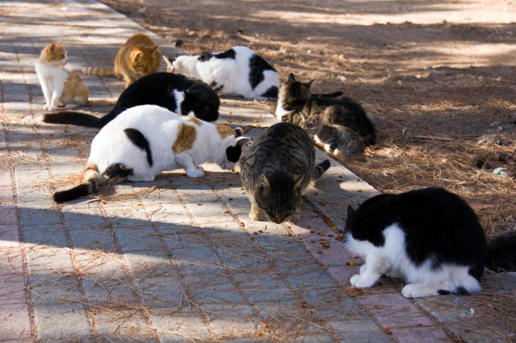 castration ou stérilisation des chats