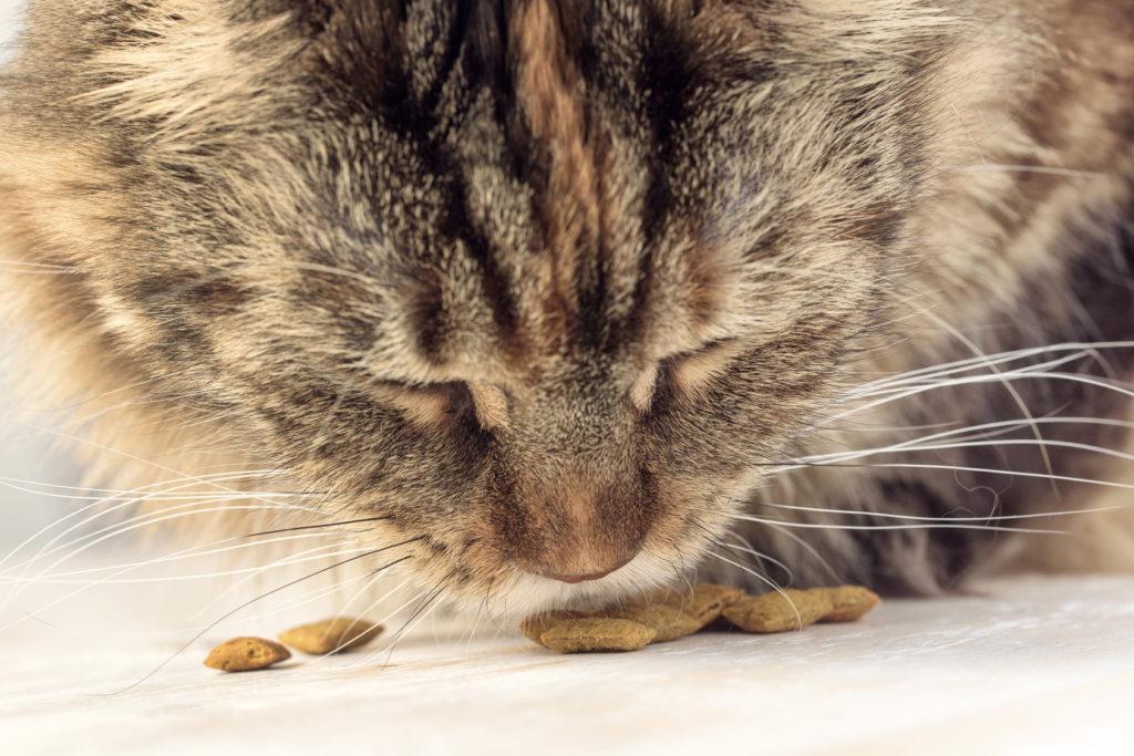 intolérances et allergies alimentaires chez le chat