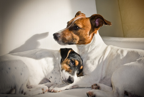 contraception du chien et de la chienne