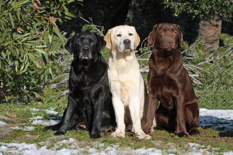 labrador retriever trois couleurs