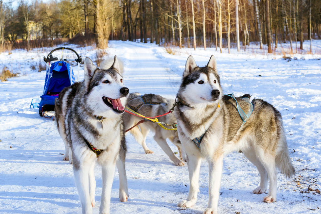 Husky de Sibérie chien de traineau