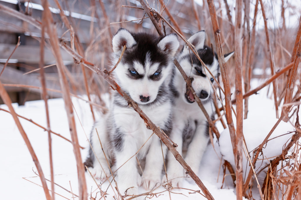 chiots Husky de Sibérie