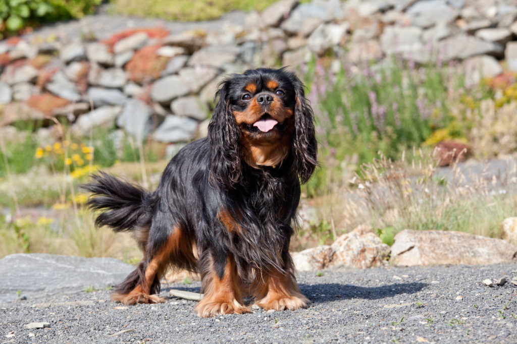 Cavalier King Charles spaniel bicolore noir et feu