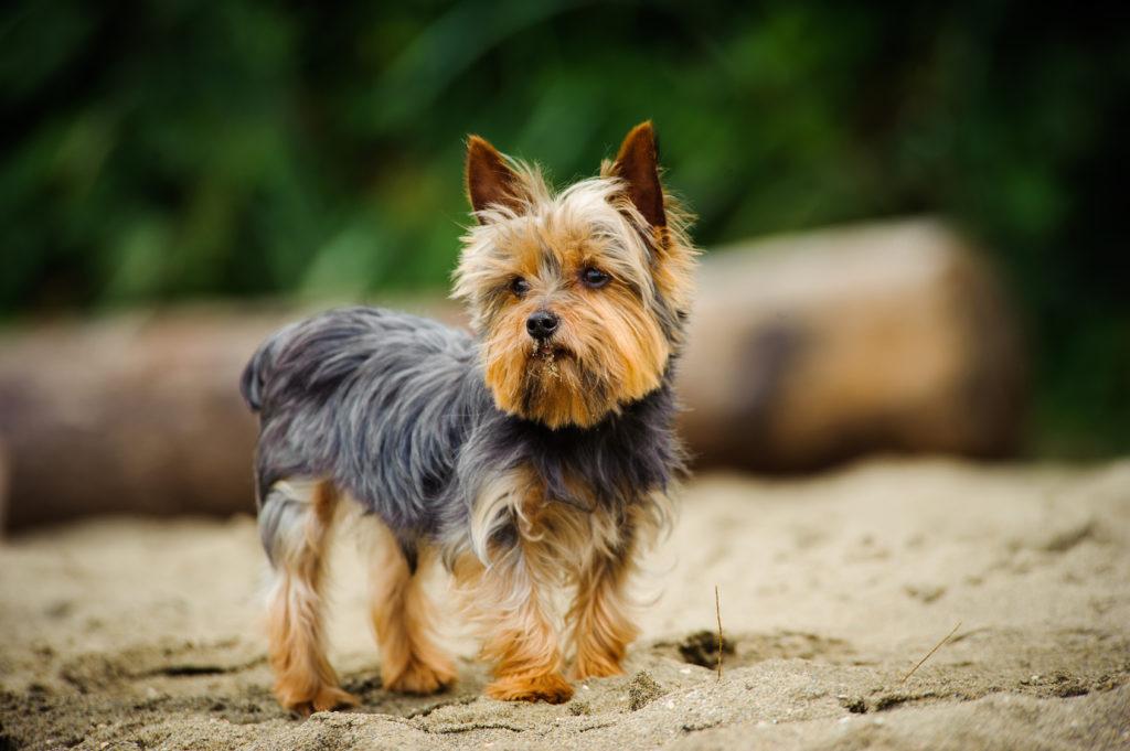 Yorkshire Terrier Origine Caractere Sante Soins Magazine Zooplus
