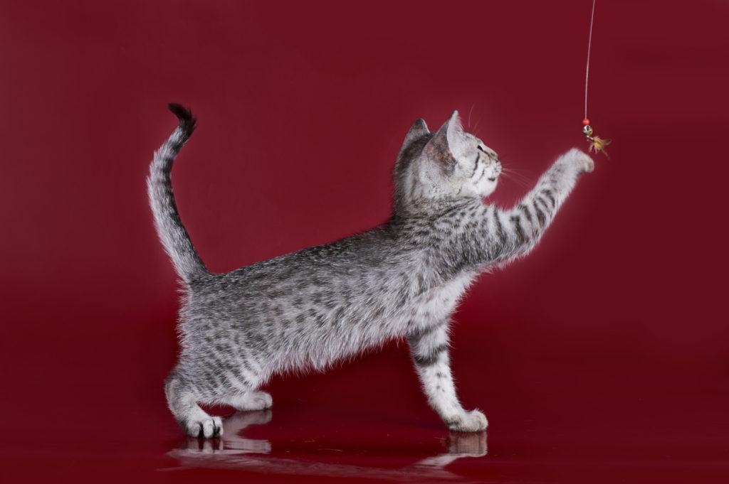 chaton mau égyptien