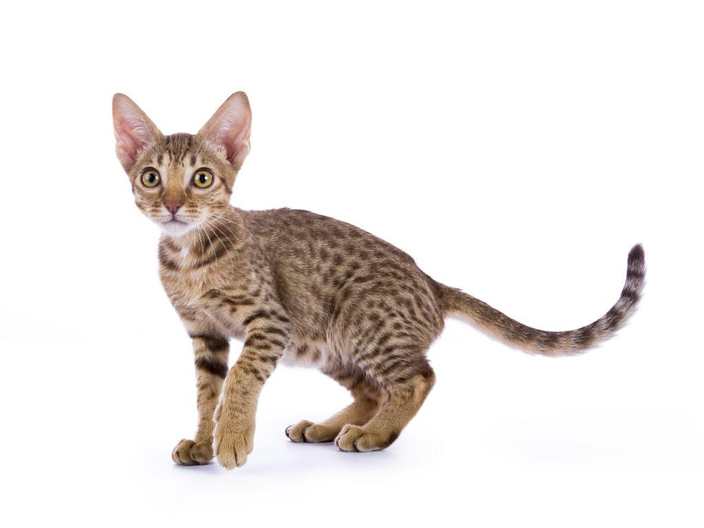 chaton ocicat