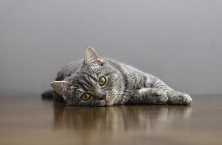 Chat en chaleur