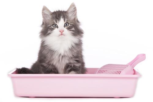 Chaton gris et blanc assis dans sa litière rose