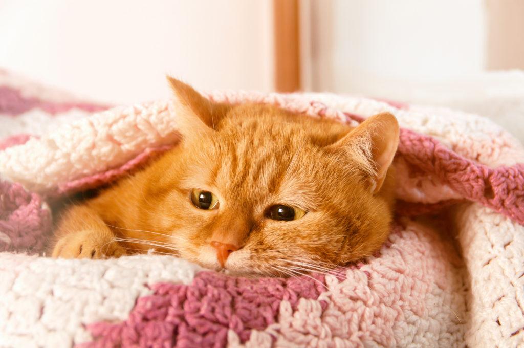 Chat roux sans une couverture rose