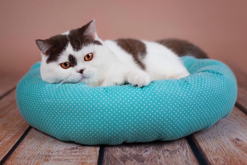 Chat noir et blanc couché sur un coussin bleu à pois blancs