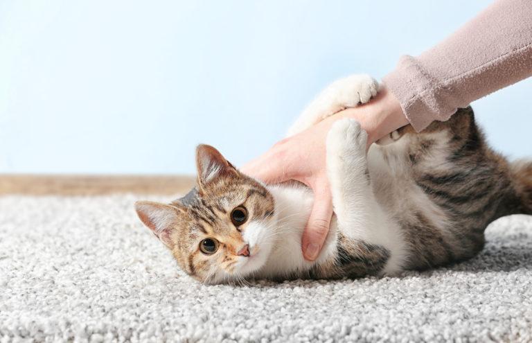 Chat entrain de jouer accroché au bras de son maître