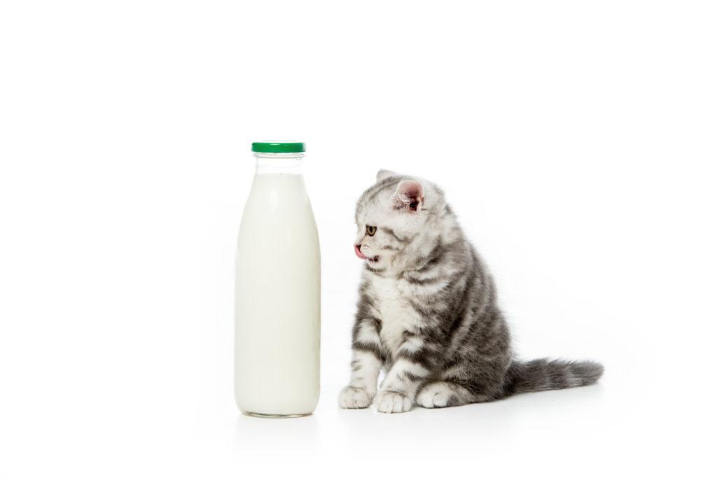 Chaton assis à côté d'une bouteille de lait aussi grande que lui