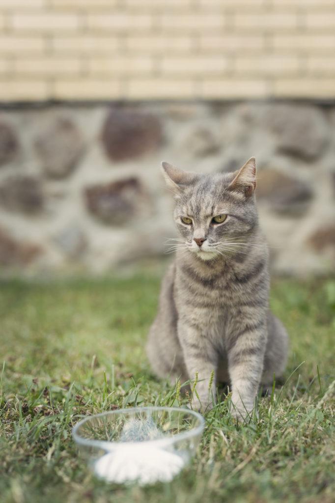 Chat gris assis dans l'herbe du jardin devant un bol de lait