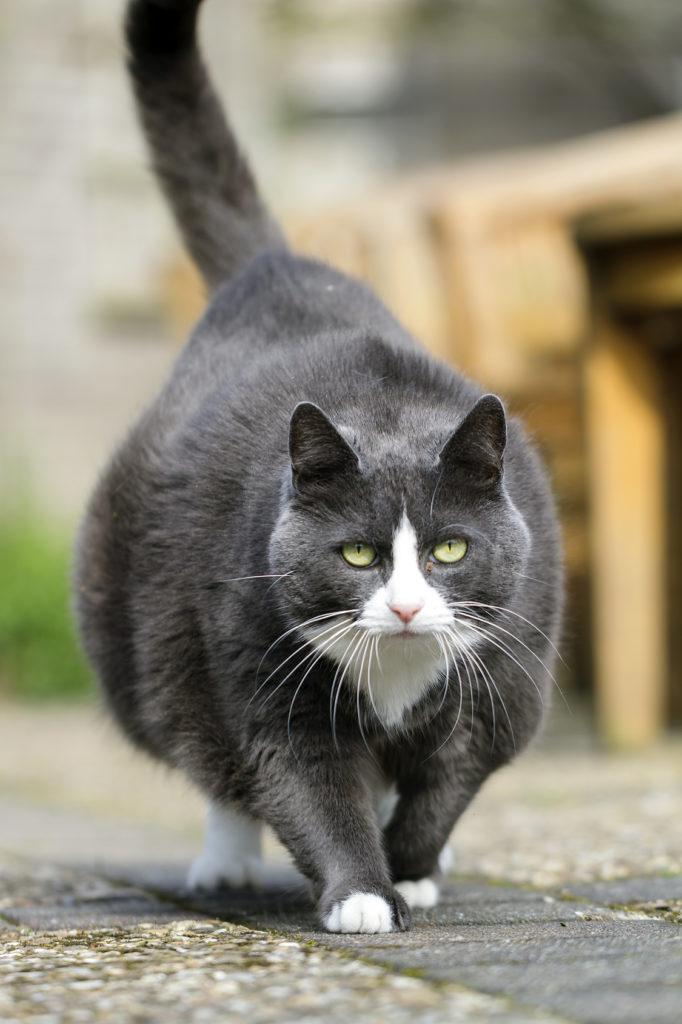 chat noir en surpoids qui marche dans le jardin