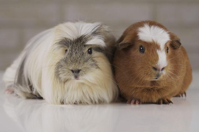 Un cochon d'Inde gris, crème et blanc et un cochon d'Inde roux et blanc
