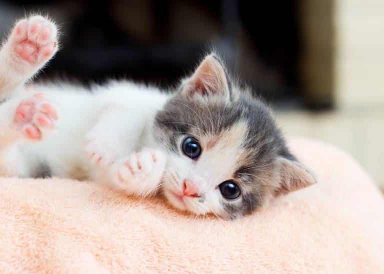 portait d'un chaton couché sur le côté