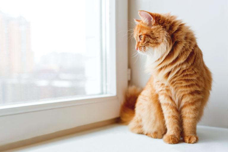 Chat roux assis sur le rebord de la fenêtre et en attente de quelque chose. L'animal pelucheux regarde par la fenêtre.