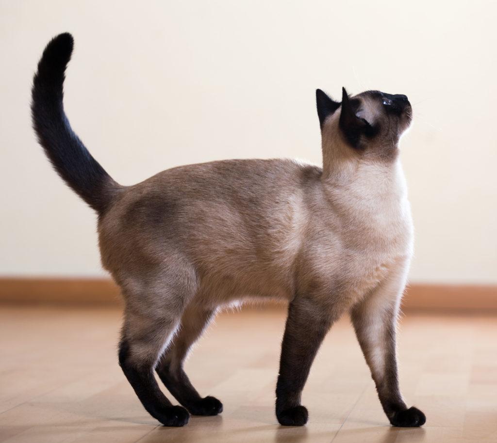 Chat siamois adulte debout avec la queue en l'air