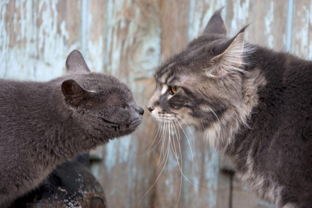Deux chats gris se rencontrent