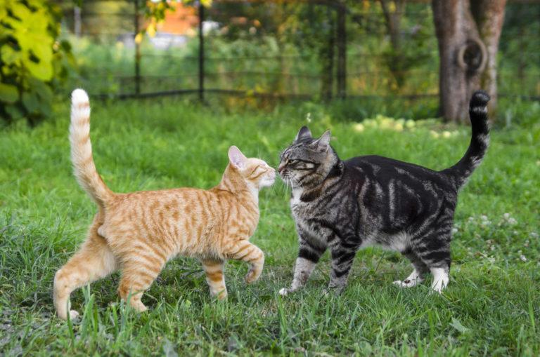 Un chat gris et un chat tentent de cohabiter dans le jardin