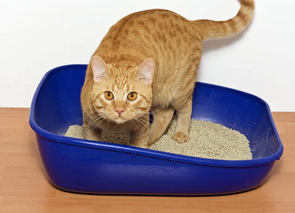 Chat roux debout dans son bac à litière bleu marine