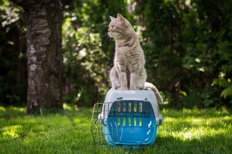 Chat gris assis sur sa caisse de transport dans le jardin