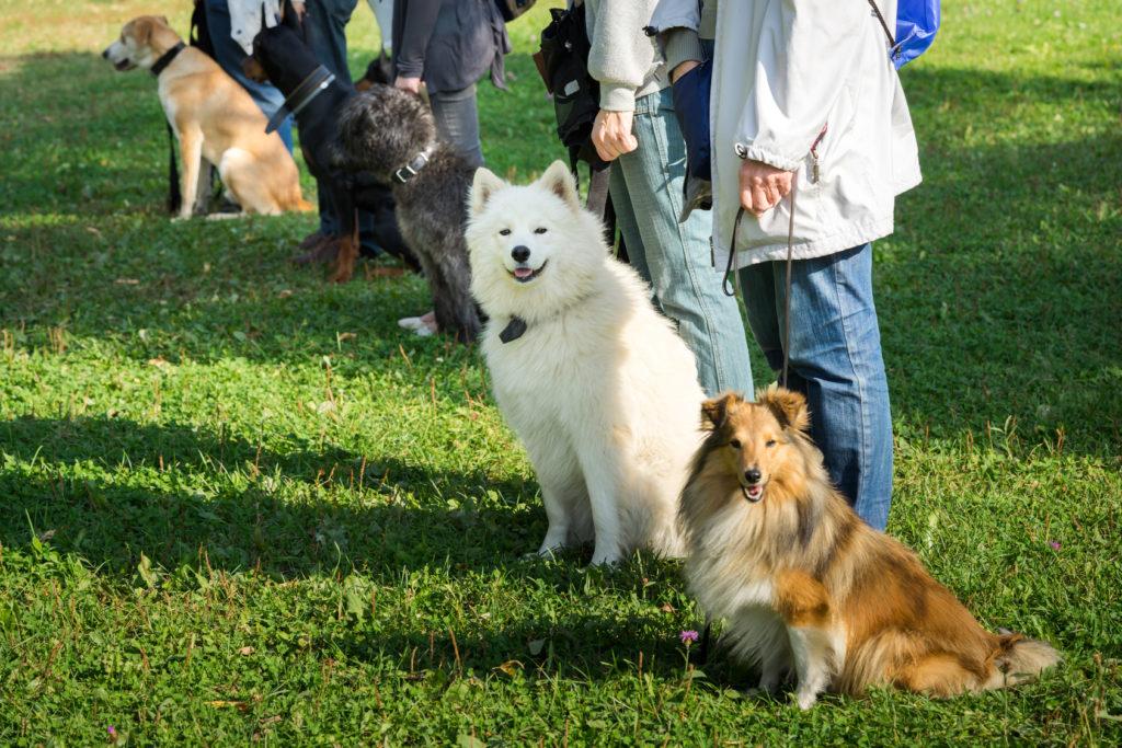 six chiens assis devant leur maître pendant un entrainement à l'école canine pour montrer que le chien n'obéit pas toujours