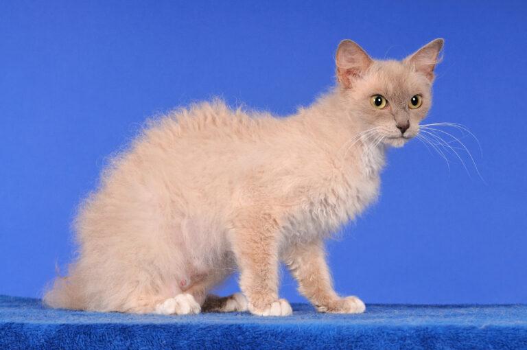 chat LaPerm sur un fond bleu