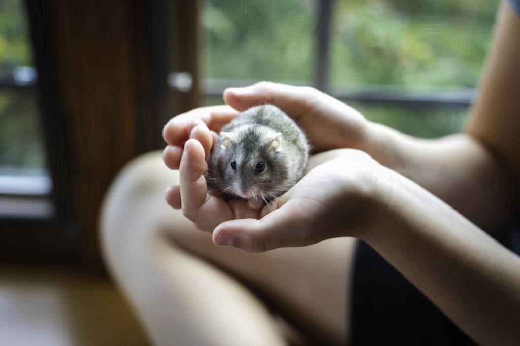 Hamster dans la main de son propriétaire