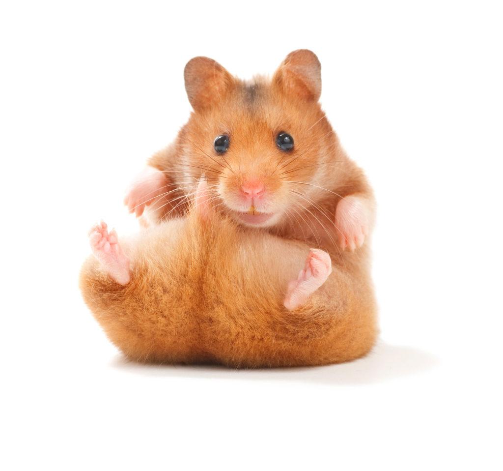 Hamster mignon assis