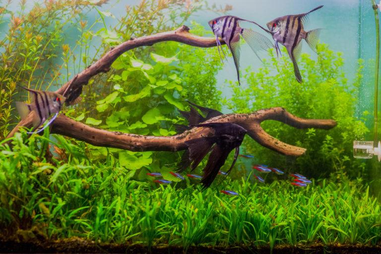Les 10 poissons d'aquarium les plus populaires