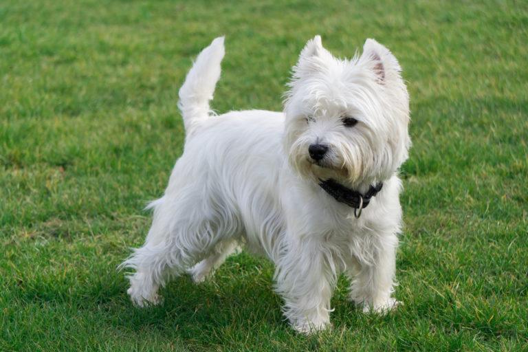 west highland white terrier dans l'herbe