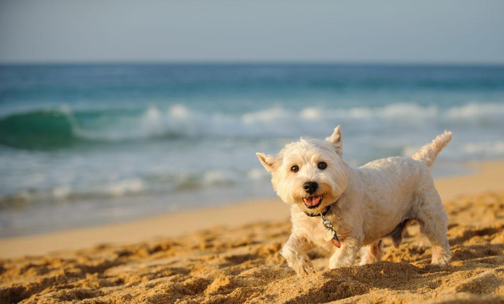 west highland white terrier plage